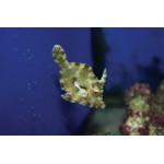 Единорог -акреихт щетинохвостый  (Acreichthys tomentosus)