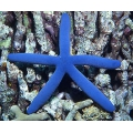 Звезда Линкия голубая (Linkia laevigate)