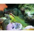 Бычок-элакатинус зеленополосый (Elacatinus multifasciatus)