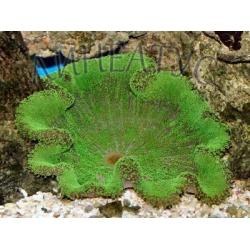 Актиния ковровая зеленная - (Stichodactyla haddoni)