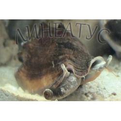 Стромбус королевский (Strombus sp.)