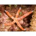 Звезда Линкия красная (Linckia Multiflora)