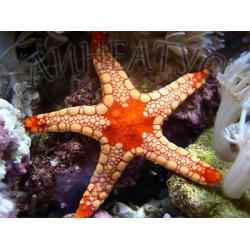 Морская звезда Фромия (Fromia monilis)