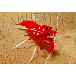 Креветка огненная (кровавая), кардинал (Lysmata debelius)