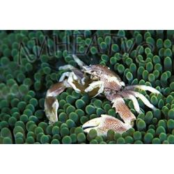 Анемоновый краб фарфоровый (Neopetrolisthes maculatus/sp)