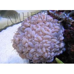 Плерогира пузырчатая (Plerogyra sinuosa)