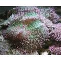 Родактис зеленый (Rhodactis indosinensis green) LUX