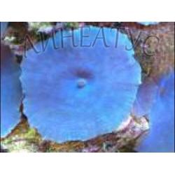 Дискосома cиняя (Discosoma blue)