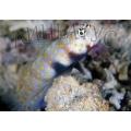Бычок креветочный пятнистый (Amblyeleotris guttata)