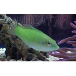 Губан тамарин зеленый (Halichoeres chloropterus)