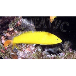 Тамарин желтый (Halichoeres chrysus)