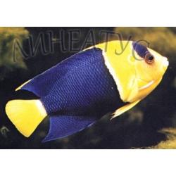 Центропиг сине-желтый (Двухцветный ангел) (Centropyge bicolor)