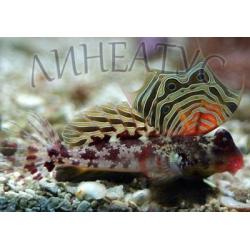 Мандаринка глазчатая красная (Synchiropus ocellatus)