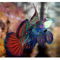 Мандаринка глянцевая (Synchiropus splendidus)