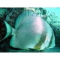 Дисковидный платакс (Platax orbicularis )