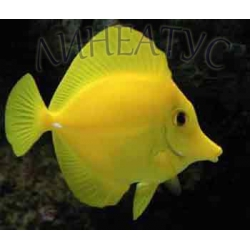 Желтая зебрасома (Zebrasoma flavescens)