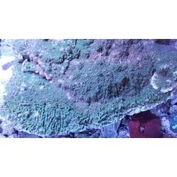 Монтипора зеленая (Montipora sp.) L