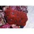 Бластомусса Уэллса красная (Blastomussa wellsi)