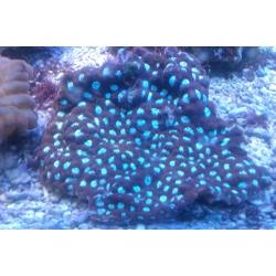 Фавитес-коралл мозговик (Favites sp.) M