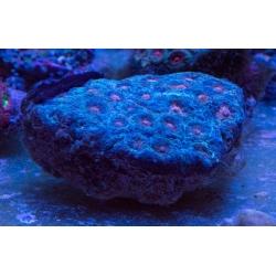 Фавия коралл мозговик (Faviа sp.) M