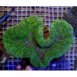 Лобофиллия зеленая (Lobophyllia sp.)