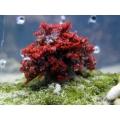 Актиния огненная красная (Phyllodiscus semoni) M