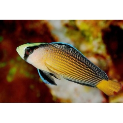 Псевдохромис роскошный (Pseudochromis splendens)