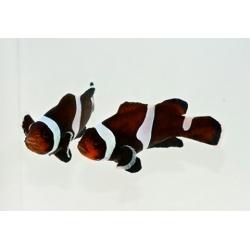 Клоун оцеллярис черный (Amphiprion ocellaris black)