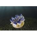 Медуза сидячая  - Кассиопея (Cassiopeia sp.)