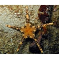 Звезда сдвоенная (Iconaster longimanus)