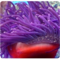 Актиния краснотелая фиолетовая (Macrodactyla doreensis) M