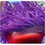 Актиния краснотелая фиолетовая (Macrodactyla doreensis)