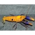 Рак-щелкун (Креветка-щелкун) желтый синеклешневый (Alpheus soror)