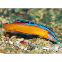Ложнохромис желтый синеполосый (арабский) Pseudochromis aldabraensis