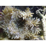 Актиния песчаная (Heteractis sp.)