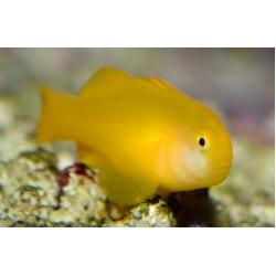 Бычок лимонный Гобиодон окинавский  (Gobiodon okinawae)