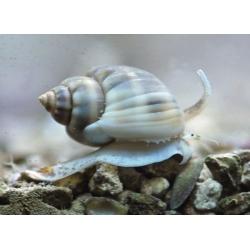 Песчаная улитка Насариус (Nassarius sp.)