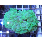 Плерогира пузырчатая цветная (Plerogyra sinuosa)