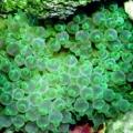 Актиния пузырчатая (Entacmea quadricolor)