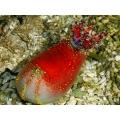 Голотурия морское яблоко (Pseudocolochirus tricolor)
