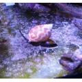 Песчаная улитка Насариус (Nassarius Snail)