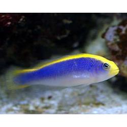 Псевдохромис желтоспинный (Pseudochromis flavivertex)